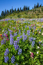 Alpine wildflowers field of in mount rainier national park washington Stock Photos