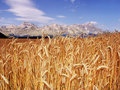 Alps harvest of cereal crops in the french Stock Image