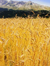 Alps harvest of cereal crops in the french Royalty Free Stock Images