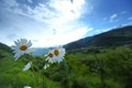 Alps swiss beautiful camomile in Stock Photography