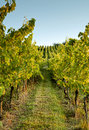 Alsace vineyard Stock Photo