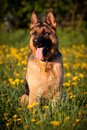Alsatian Stock Photo