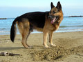 Alsatian on the beach Royalty Free Stock Photo