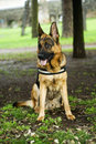 Alsatian dog portrait of an sat in a park Royalty Free Stock Photo