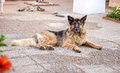 Alsatian resting in terrace photograph of young on a Royalty Free Stock Photo