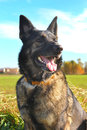 Alsatian shepherd in the fields during summer Royalty Free Stock Photo