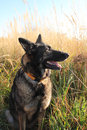 Alsatian shepherd in the fields during the summer portrait of Royalty Free Stock Photography