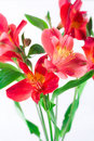 Alstroemeria Photos stock
