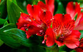 Alstroemeria red flowers with green leafs in bouqet Royalty Free Stock Photography