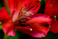 Alstroemeria red flowers with green leafs in bouqet Royalty Free Stock Images
