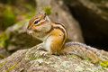 Altai chipmunk tamias sibiricus in the wildlife sitting on the stone and eating something photo taken in the region russia Royalty Free Stock Image