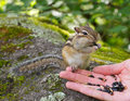 Altai hand feeding chipmunk concept of the nature protection and unity of people and nature tamias sibiricus in the wildlife Stock Photography