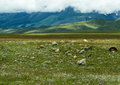 Altai steppe mountains stones the summer landscape russia with a covered by grass and flowers some plants a group of as a Stock Photography