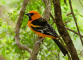Altamira Oriole Royalty Free Stock Images