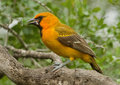 Altamira Oriole Royalty Free Stock Photos