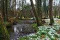 Alter Snowdrop Wald Lizenzfreies Stockfoto