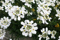 Altijdgroene candytuft of eeuwigdurende candytuft iberis sempervirens Stock Foto