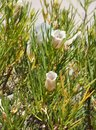 Alyogyne hakeifolia flowers Royalty Free Stock Photo