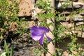 Alyogyne huegelii, Lilac Hibiscus Royalty Free Stock Photo