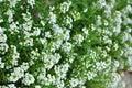 Alyssum Flowers
