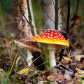 Amanita Royalty Free Stock Image