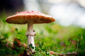 Amanita Royalty Free Stock Photography