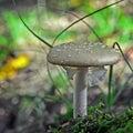 Amanita excelsa mushroom Royalty Free Stock Photo