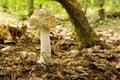 Amanita Inaurata II - Mushroom Royalty Free Stock Photos