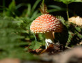 Amanita muscaria Stock Photography