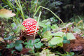 Amanita muscaria Royalty Free Stock Photography