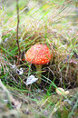 Amanita muscaria in autumn grass Royalty Free Stock Photography