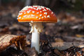 Amanita muscaria classic mushroom on the forest floor in fall with leaves Stock Photography