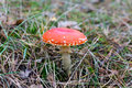 Amanita muscaria fly agaric fly amanita in the forest Royalty Free Stock Photos