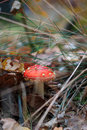 Amanita muscaria fly agaric toadstool growing in the forest Royalty Free Stock Photos