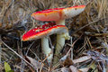 Amanita muscaria in the forest in herbast Royalty Free Stock Photos