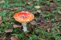 Amanita muscaria growing in the autumn forest Stock Photography