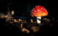 Amanita muscaria mushroom in the forest after rain Stock Photography