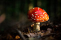 Amanita muscaria mushroom in the forest after rain Royalty Free Stock Photo