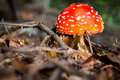Amanita muscaria mushroom in the forest after rain Royalty Free Stock Images