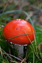 Amanita muscaria mushroom in grass close up view Royalty Free Stock Photo