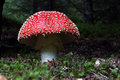 Amanita muscaria the mushroom seen at ground level in an icelandic forest Royalty Free Stock Images