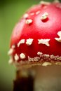 Amanita muscaria red in an autumn forest Royalty Free Stock Image