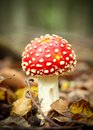 Amanita muscaria red in an autumn forest Stock Images