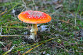 Amanita muscaria red in the coniferous forest Royalty Free Stock Photos