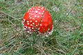 Amanita muscaria red fly agaric growing among green grass Royalty Free Stock Images