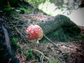 Amanita muscaria a red fly agaric mushroom Royalty Free Stock Photo