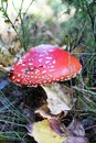 Amanita muscaria red growing in the autumn forest Stock Photos
