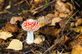 Amanita muscaria red mushroom among fallen leaves Royalty Free Stock Photography
