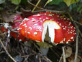 Amanita muscaria the snake s hat poisonous mushroom but in small amounts has hallucinogenic effect Stock Images