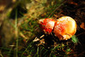 Amanita muscaria toxic mushroom in the woods Stock Photography